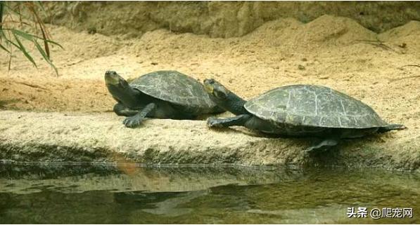 亞馬遜河流域巨龜面臨滅絕的危險! - 每日頭條