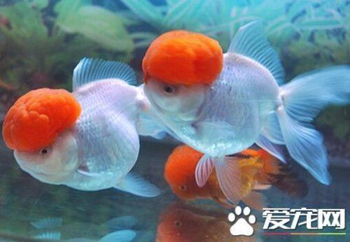 鶴頂紅金魚能長多大 一般情況在15cm左右 - 每日頭條