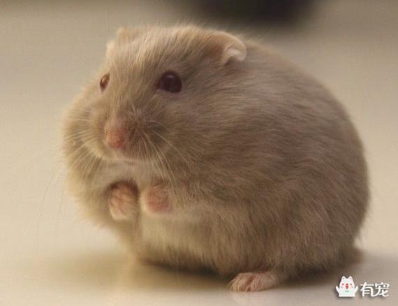 帶你解讀倉鼠的身體語言! - 每日頭條