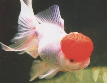 鶴頂紅金魚一隻多少錢? 鶴頂紅金魚價格介紹 - 每日頭條