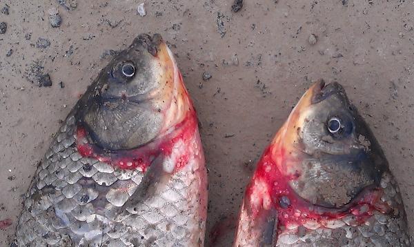池塘養魚常見的一種魚病——淡水魚類細菌性出血病。 - 每日頭條