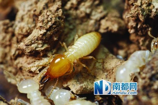 廣州白蟻今年首次「婚飛」 你嚇到了沒 - 每日頭條