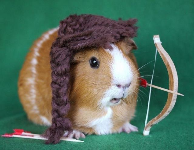 寵物:豚鼠應該如何飼養 - 每日頭條