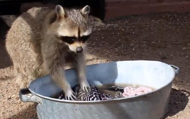 為什麼小浣熊熱衷於洗東西?從它的名字就知道中國漢字博大精深! - 每日頭條