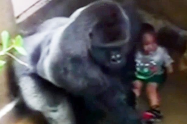 The tragedy comes less than two months after a gorilla was shot dead at Cincinnati Zoo after a young boy entered his enclosure (above)