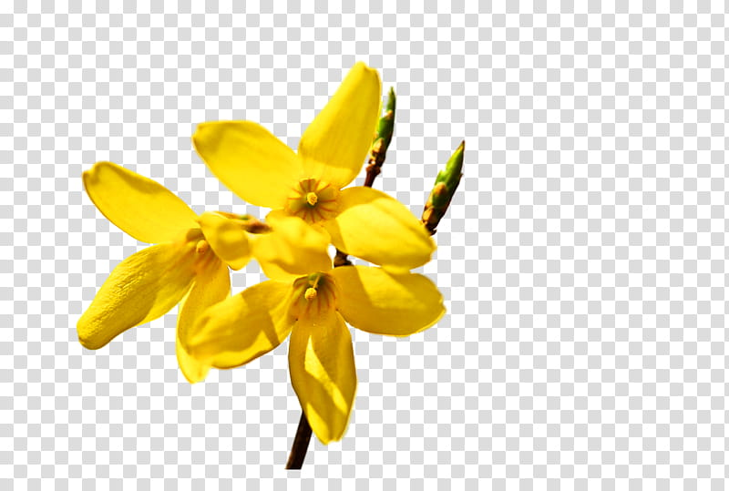 Naver Blog Flower Tulip Others Transparent Background Png