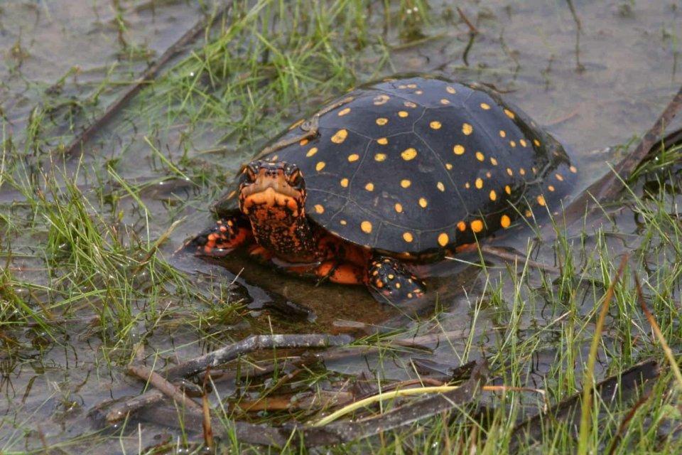 星點水龜(Clemmys guttata)飼養及繁育需知(命脈龜糧) - 壹讀