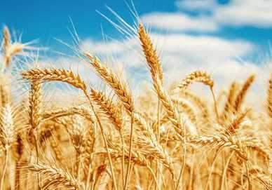 小麥胚芽粉的吃法有哪些? - 壹讀