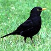 Spring Forest - Blackbird Song - Bird Singing- Chirping - 3 Hours of Relaxing Nature Sounds mp3