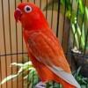 Suara burung tekukur bersih cocok untuk pikat.mp3 mp3