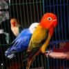 Suara Pikat Burung Sirtu Cipoh Paling Lengket.mp3 mp3