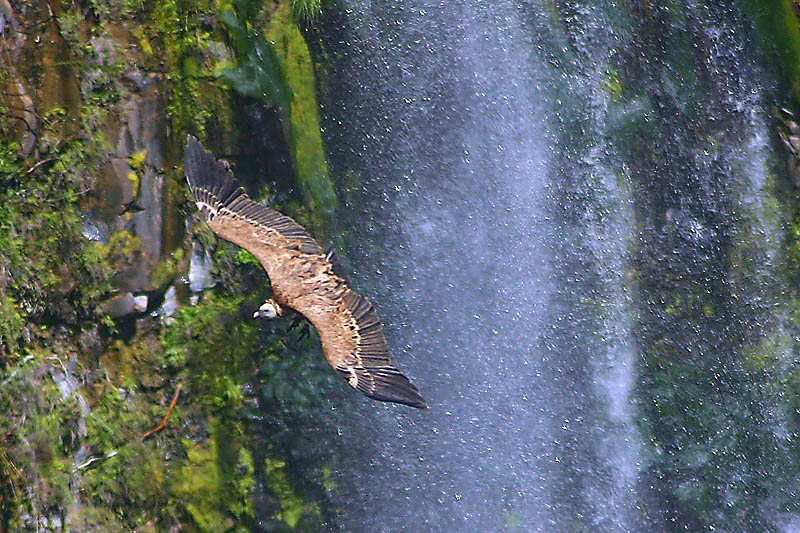 vulture over the waterfall - Golan heights, Kinneret