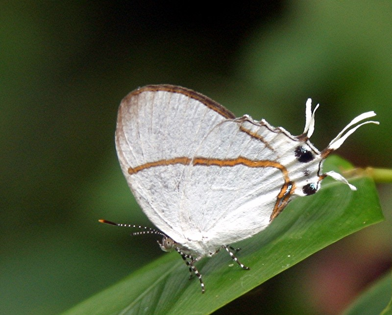 Oxylides faunus