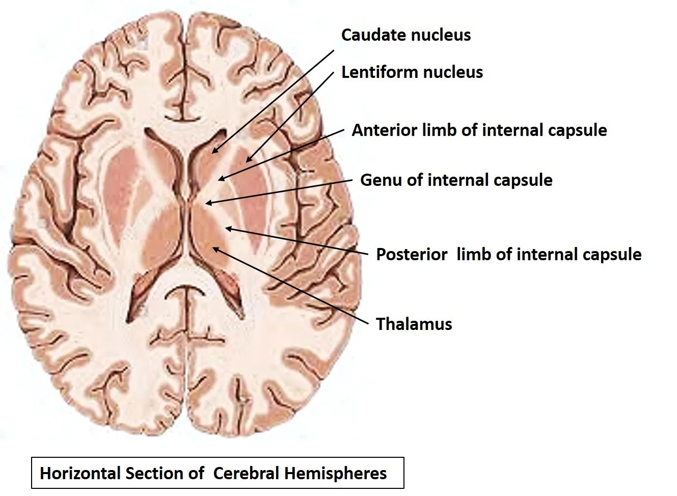 interior inferior basal ganglia » Full HD MAPS Locations - Another ...