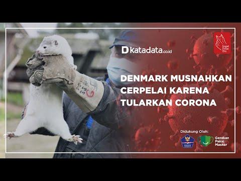 Denmark Musnahkan Cerpelai Karena Tularkan Corona | Katadata Indonesia