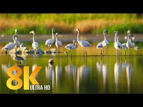 African Birds of Vermont Salt Pan, Western Cape - 8K Film - Short Preview