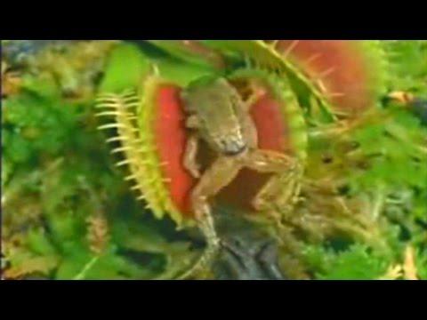 Venus Flytrap Eats Frog And Moth