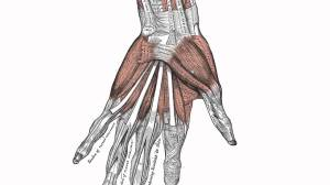 Muscles of the Hand  Anatomy Tutorial  YouTube