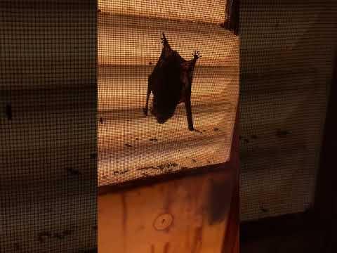 我が家に巣食う◯◯匹のコウモリをハッカ水で追い出してみた❗️