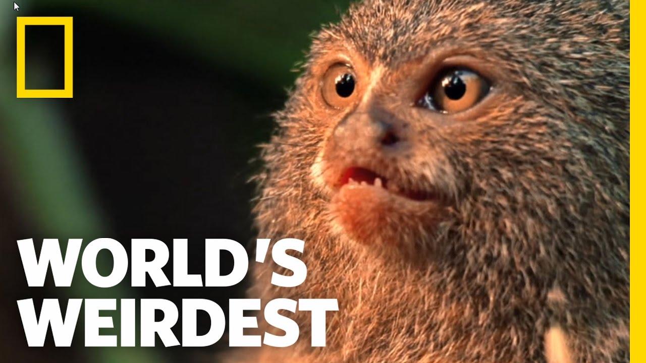 World S Weirdest Smallest Monkey Turf War Youtube