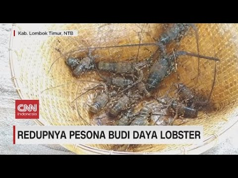 Redupnya Pesona Budi Daya Lobster