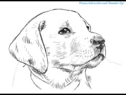 to draw labrador colouring pages