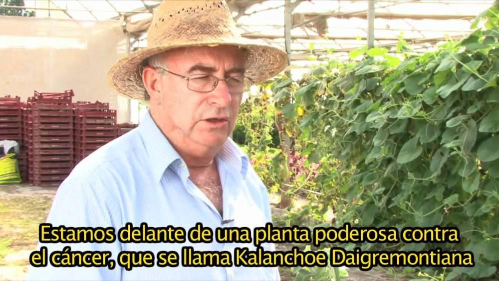 KALANCHOE, UNA PLANTA QUE DEJA EN ENTREDICHO A LA QUIMIOTERAPIA.