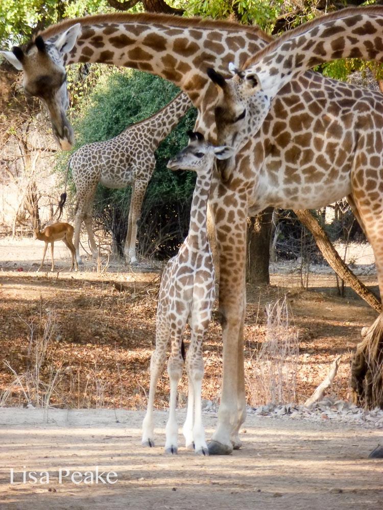 GiraffeLisa6.092215.jpg