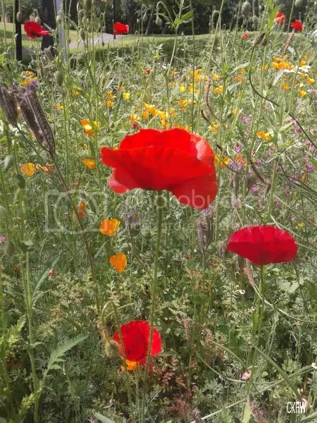 photo poppies_zps91f1c6ad.jpg