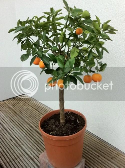 Tree Life Cycles Indoor Orange Tree with Ripening Oranges