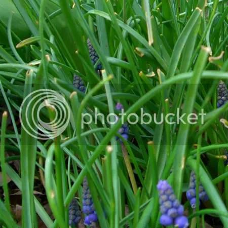 Hyacinth2010-01