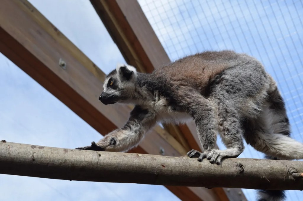 Lemur | In With The Lemurs | The LDN Diaries at London Zoo