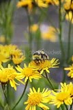 photo bee on yellow flowers iceland 01_zpsjcipsrso.jpg