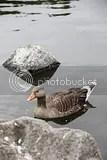 photo goose iceland_zps0jxwvqb9.jpg