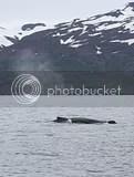 photo whales 01_zpsfujfxg9t.jpg