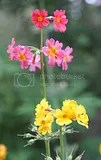 photo pink and yellow flowers iceland 01_zpsdke1aqim.jpg