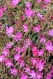 photo pink flowers iceland 02_zpsf1jccqhn.jpg