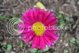 photo pink flowers iceland 03_zpshgx6mu16.jpg