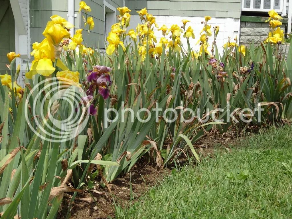 Bearded Iris bed 2016 photo DSC02392_zpsdy8gmruj.jpg
