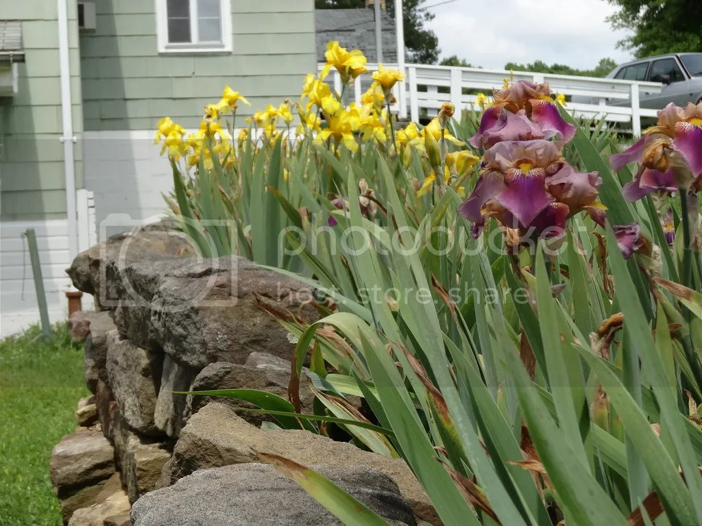 Serefine Farm-Bearded Iris Bed 2016 photo DSC02395_zpsypnmq23m.jpg