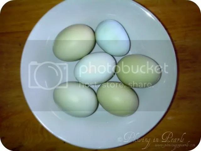 Ameracauna Eggs, Easter Eggers, Blue Green Eggs