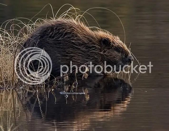 https://i2.wp.com/i1076.photobucket.com/albums/w449/gareng92/Beaver_pho34.jpg