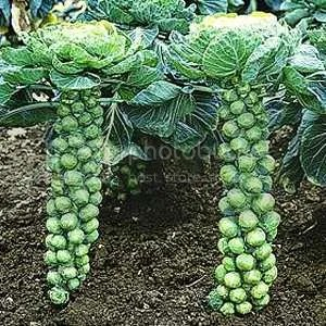 Brussels Sprouts photo: Brussel Sprouts brussels-sprouts.jpg