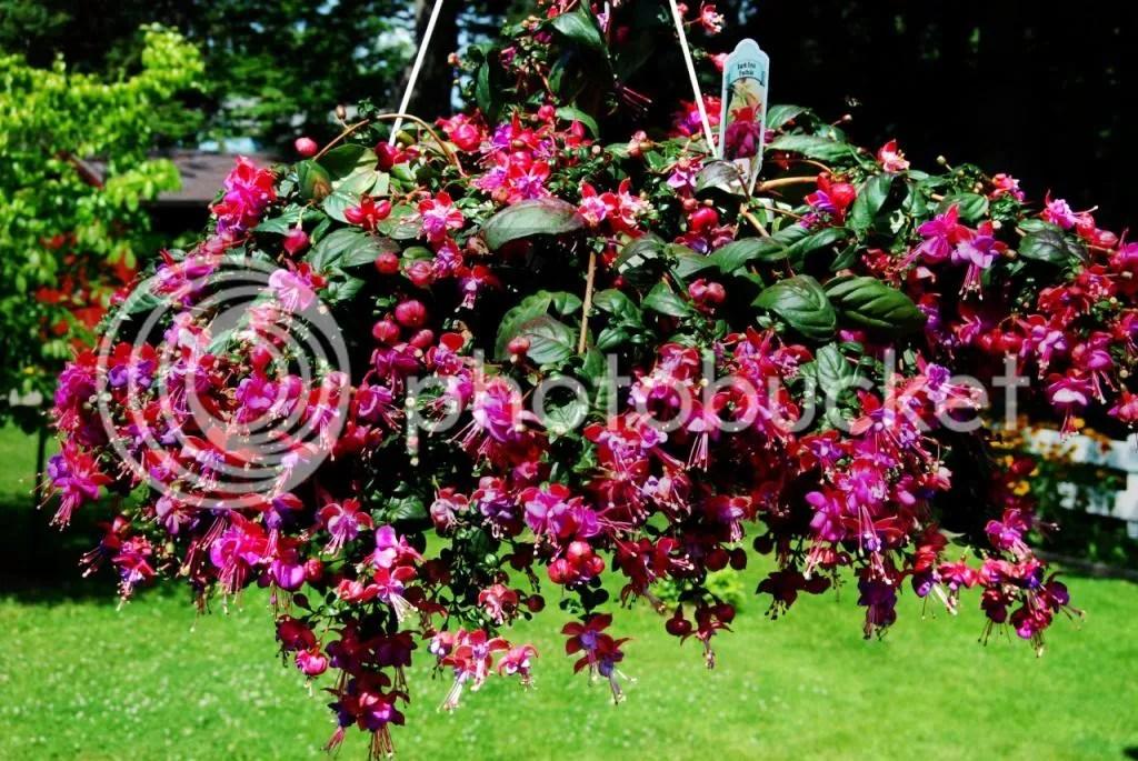 photo gorgeous-fuchsia-plant_small_zpsd7d151e5.jpg