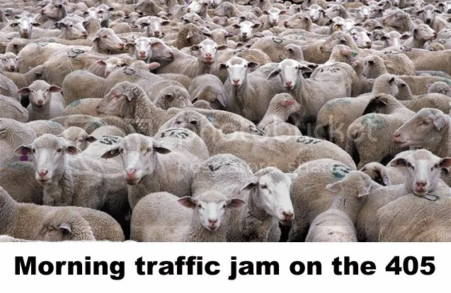 sheep in traffic