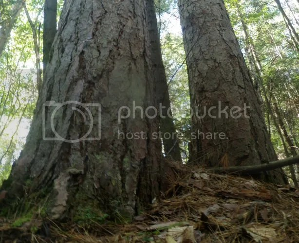 Old Growth Red Pine