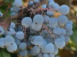 photo grape3_zps445179df.jpg