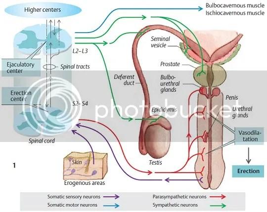 Proses ereksi dan ejakulasi penis