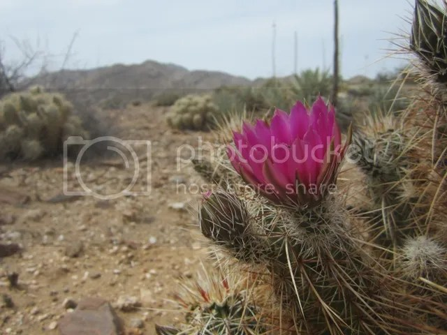 Hedgehog cactus photo AnzaBoApril2013073a_zps0ae7965e.jpg