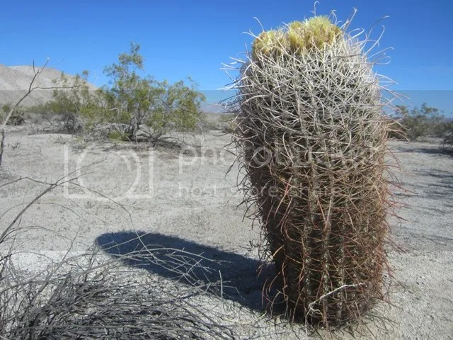 Barrel cactus photo AnzaBoMar2013173a_zps89616723.jpg